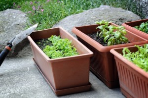 watering container plants ~ Organic Gurlz Gardens Fort Wayne Indiana (1)