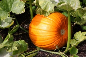 Pumpkins and gourds from Organic Gurlz Gardens of Fort Wayne Indiana (1)