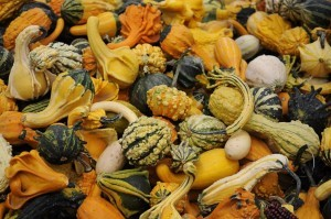Pumpkins and gourds from Organic Gurlz Gardens of Fort Wayne Indiana