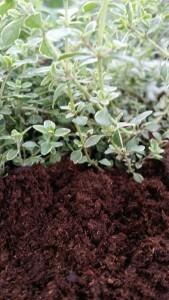 Thyme growning in Organic Soil ~ Organic Gurlz Gardens Fort Wayne Indiana