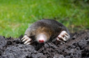 Mole in home garden - Organic Girlz Gardens Fort Wayne Indiana